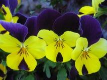 Foto macra con el contexto de flores grandes abigarradas brillantemente coloreadas de pensamientos Imagen de archivo