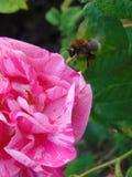 Foto macra con el fondo decorativo de colores brillantes hermosos con los pétalos del color rosado y de la abeja que recogen el n Fotografía de archivo libre de regalías