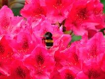 Foto macra con el fondo decorativo de colores brillantes hermosos con los pétalos del color rosado y de la abeja que recogen el n Imagen de archivo