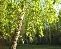 Foto macra con el fondo decorativo del paisaje de hojas verdes claras en ramas y Forest Green de árbol de abedul fotos de archivo libres de regalías