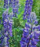 Foto macra con el Lupinus hermoso de la flor del fondo del jardín decorativo de la textura con los pétalos púrpuras Fotos de archivo