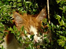 Foto macra con el pelirrojo del animal doméstico del gato del fondo con la coloración abigarrada imagenes de archivo