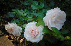 Foto macra con las rosas hermosas de las flores de un fondo decorativo fotografía de archivo libre de regalías
