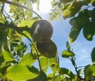 Foto macra con un fondo decorativo de la fruta verde de la nuez en una rama de un árbol de nuez durante la maduración del verano imagenes de archivo