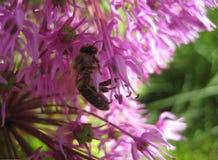 Foto macra con una flor hermosa del allium con la abeja púrpura y de néctar-acopio esférica de la inflorescencia Imágenes de archivo libres de regalías