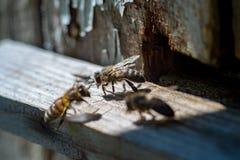 Foto macra de abejas en la entrada de madera de una colmena vieja Imágenes de archivo libres de regalías