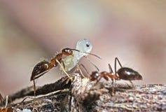 Foto macra de Ant Carrying Pupae en la ramita foto de archivo libre de regalías