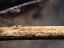 Foto macra de Ant Carrying Pupae minúsculo y del funcionamiento en el palillo imagen de archivo libre de regalías