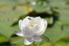 Foto macra de la abeja con la flor de loto puede ser diseño a su gráfico del diseño Fotografía de archivo