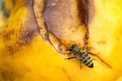 Foto macra de la abeja del insecto Fotografía de archivo libre de regalías