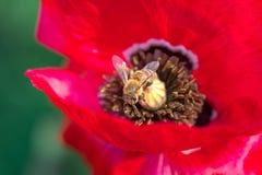 Foto macra de la abeja que recoge el polen de la flor roja de la amapola Imagen de archivo