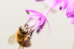 Foto macra de la abeja que recolecta el polen de la flor púrpura Imagen de archivo libre de regalías