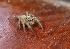 Foto macra de la araña de salto aislada en fondo de madera fotografía de archivo libre de regalías