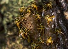 Foto macra de la colonia de la abeja de Jataà - angustula de Tetragonisca de la abeja Foto de archivo libre de regalías