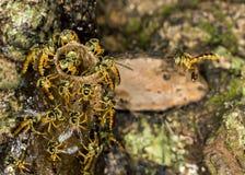 Foto macra de la colonia de la abeja de Jataà - angustula de Tetragonisca de la abeja Fotografía de archivo libre de regalías