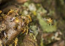 Foto macra de la colonia de la abeja de Jataà - angustula de Tetragonisca de la abeja Imágenes de archivo libres de regalías