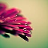 Foto macra de la flor del gerbera con descenso del agua Fotografía de archivo libre de regalías