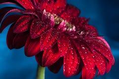 Foto macra de la flor del gerbera con descenso del agua Imágenes de archivo libres de regalías