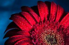 Foto macra de la flor del gerbera con descenso del agua Fotos de archivo