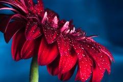 Foto macra de la flor del gerbera con descenso del agua Foto de archivo libre de regalías