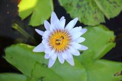 Foto macra de la flor de loto con las abejas puede ser diseño a su gráfico del diseño Imagen de archivo libre de regalías