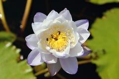 Foto macra de la flor de loto con las abejas puede ser diseño a su gráfico del diseño Fotografía de archivo libre de regalías