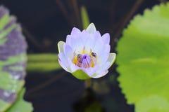 Foto macra de la flor de loto con las abejas puede ser diseño a su gráfico del diseño Imagenes de archivo