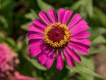 Foto macra de la flor rosada de la dalia en jardín del verano Imágenes de archivo libres de regalías