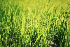 Foto macra de la hierba verde del parque Foto envejecida Fotografía de archivo libre de regalías
