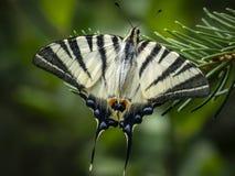 Foto macra de la mañana de la mariposa del ` del podalirius de Iphiclides del ` de la cola del trago en una aguja verde de un árb imagenes de archivo