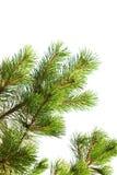 Foto macra de la rama de árbol de pino aislada Imágenes de archivo libres de regalías