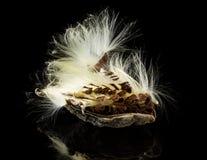 Foto macra de la vaina de la semilla del milkweed de pantano fotografía de archivo