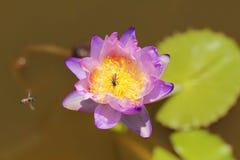 Foto macra de las abejas de la pizca de la flor de loto puede ser diseño a su gráfico del diseño Fotos de archivo libres de regalías