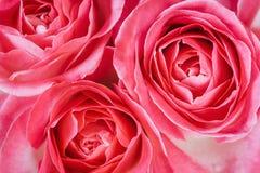 Foto macra de las cabezas de la rosa del rosa Fotografía de archivo