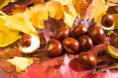 Foto macra de las castañas del otoño en un fondo de hojas amarillas Imagen de archivo