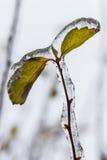 Foto macra de las hojas congeladas y cubiertas con la capa profunda de hielo Foto de archivo libre de regalías
