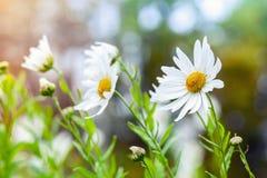 Foto macra de margaritas blancas grandes en el jardín, efecto entonado Fotografía de archivo