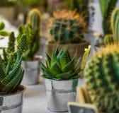 Foto macra de succulents Plantas de desierto en pequeñas plantas Succul Imagen de archivo libre de regalías