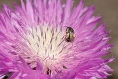 Foto macra de un cierre de la abeja para arriba Una abeja recoge el néctar de asteres de la flor Abeja en una flor Foto macra de  Imagen de archivo