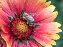 Foto macra de un cierre de la abeja para arriba Una abeja recoge el néctar de la flor Imágenes de archivo libres de regalías