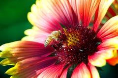 Foto macra de un cierre de la abeja para arriba Una abeja recoge el néctar de la flor Imagen de archivo libre de regalías