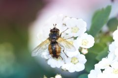Foto macra de un cierre de la abeja para arriba Una abeja recoge el néctar de la flor Imagenes de archivo