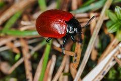 Foto macra de un escarabajo con rojo foto de archivo