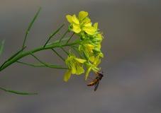 Foto macra de un insecto del polen en el trabajo sobre la flor amarilla Foto de archivo libre de regalías