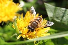 Foto macra de una abeja Foto de archivo libre de regalías