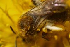 Foto macra de una abeja Fotografía de archivo