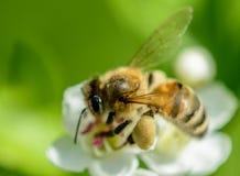 Foto macra de una abeja Fotografía de archivo libre de regalías