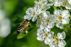 Foto macra de una abeja Fotos de archivo libres de regalías
