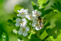 Foto macra de una abeja Imagen de archivo