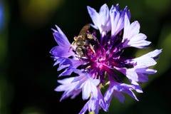 Foto macra de una abeja Cierre del cyanus del Centaurea para arriba Una abeja recoge el néctar de un aciano Botón del ` s del sol Foto de archivo